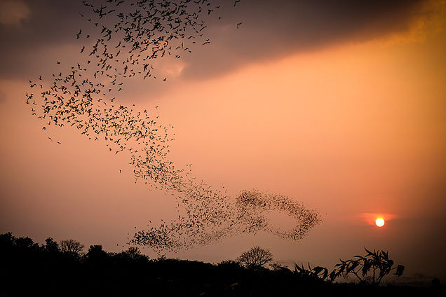 5 million bats leave their cave at Khai Yai National Park