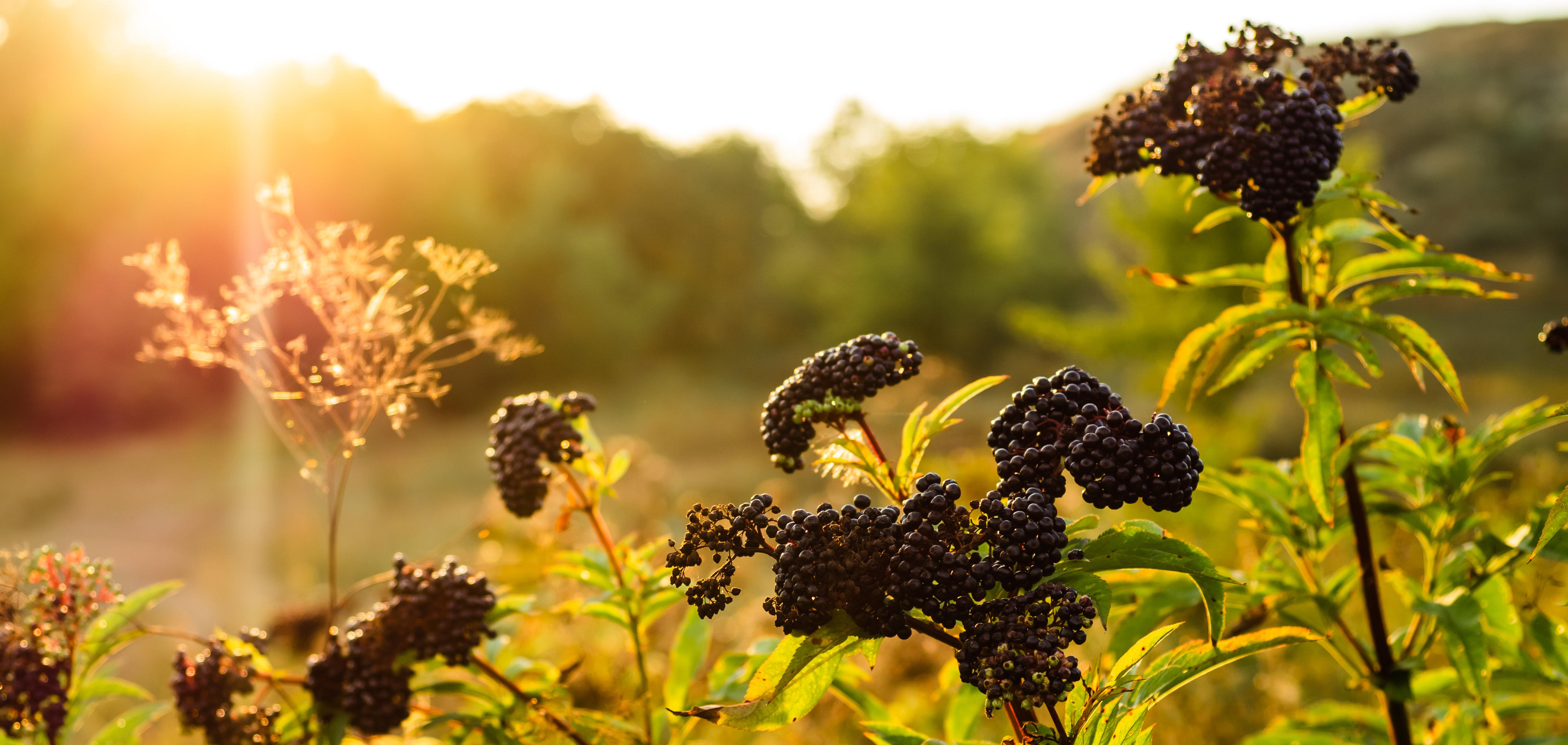 Clusters fruit black elderberry in garde