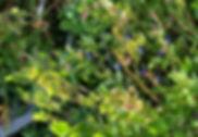 mustikka.jpg
