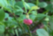 mustikkakukka.jpg