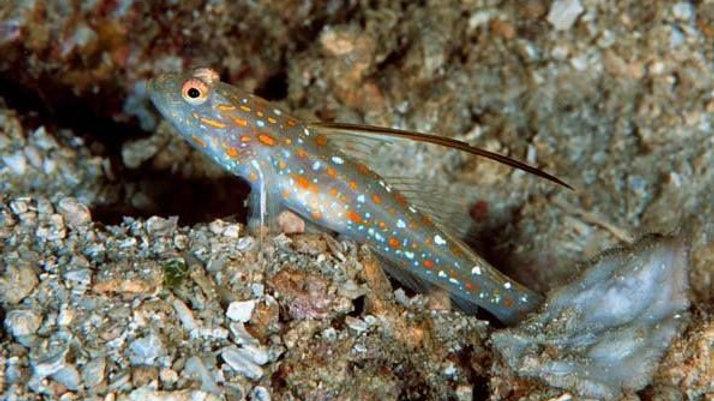 Tangora Shrimp
