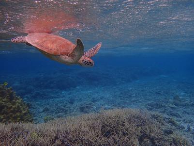 沖繩景點:離島 座間味島交通 浮潛 找海龜