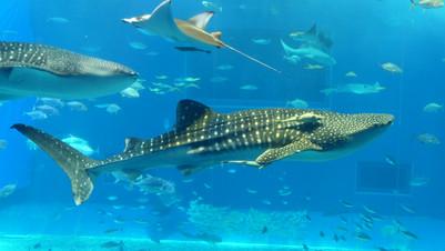 沖繩景點:北部 沖繩美麗海水族館(美ら海水族館)