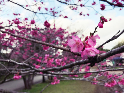 季節限定:沖繩賞櫻 北部櫻花祭 打卡必去