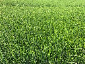 Rice_JK.jpg