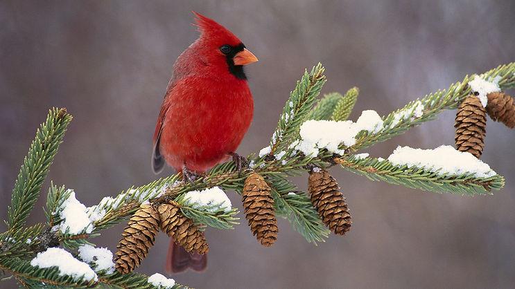 cardinal_bird_color_branch_snow_29579_1920x1080.jpg
