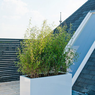 Large white trough planters with live Bamboo plants
