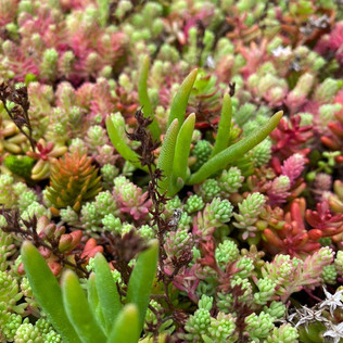 Sedum Instant Green Roof For Biodiversit