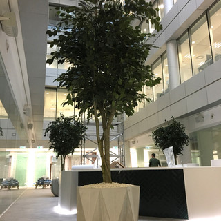 Large artificial ficus trees 3m tall