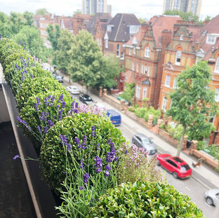 Live Boxwood and Lavender Plants in Trough Planters.jpg