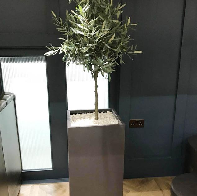 Office Olive Trees.jpg
