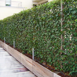 Instant Hedera Ivy Green screens in troughs
