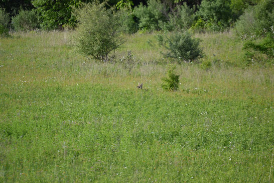 Coyote Deep in the Grass