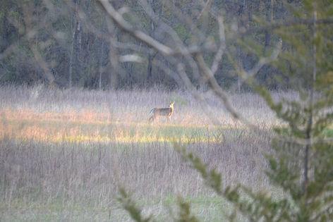 Deer in Sunlight