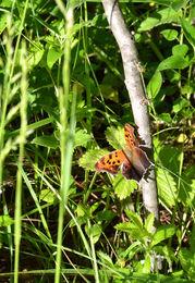 June Butterfly