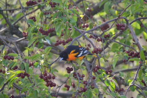 Return of the Oriole
