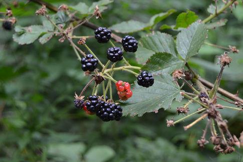 Summer Blackberries