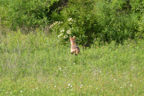 Coyote Mousing