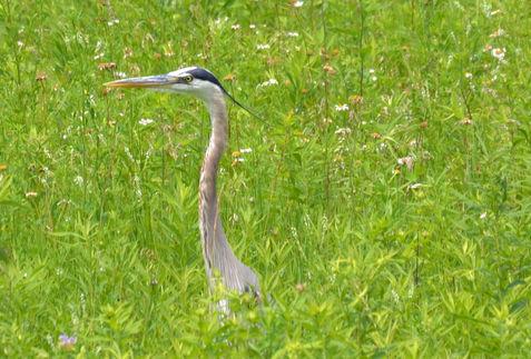 Great Blue Heron on the Prairie
