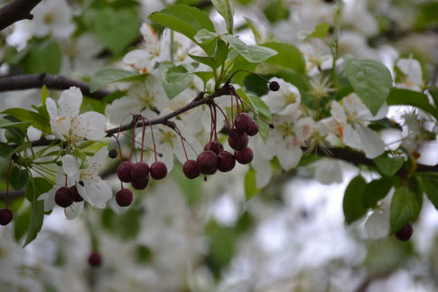 Berries & Blossoms