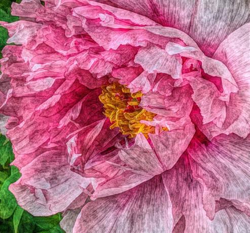 thumbnail_delicate pink peony.jpg
