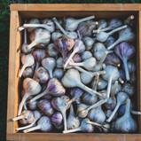box o'garlic