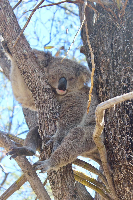 Koala auf Magnetic Island Dayo Coco