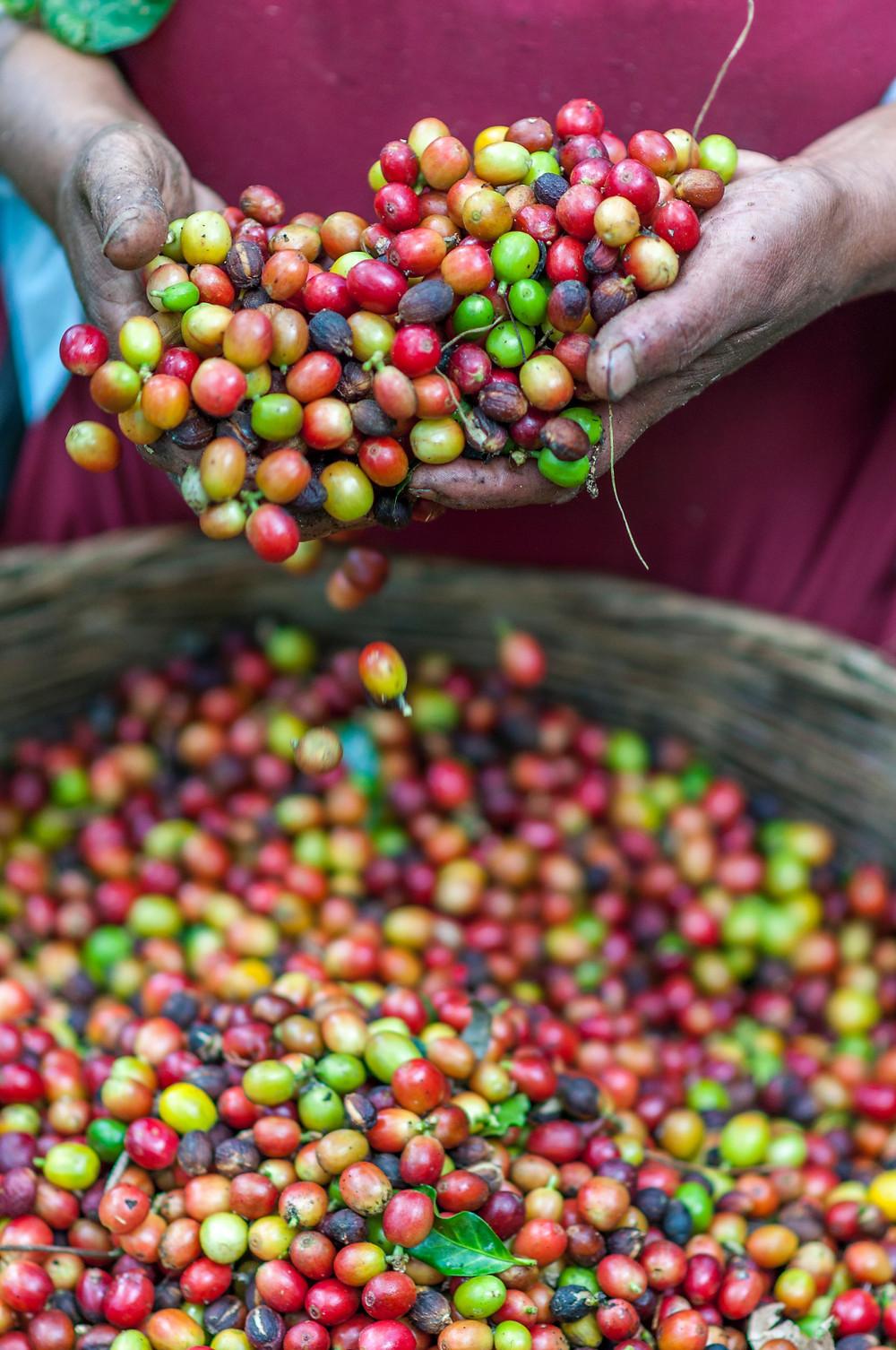 Herkunft von Kaffeebohnen