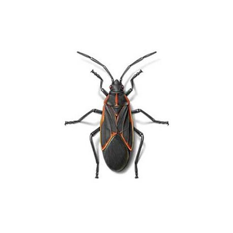 box-elder-bugs_edited.jpg