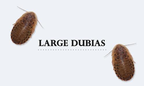 B.dubia Large 2-3 cm 76 gram (ca 100-120 st)