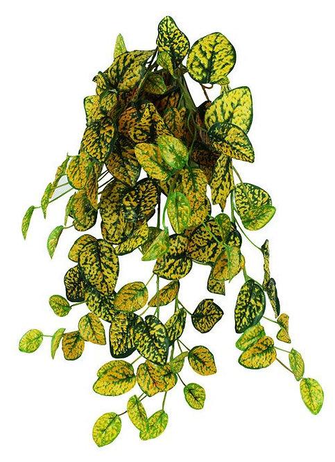 PangeaHanging Bush Aukuba (Japanese laurel) 60cm