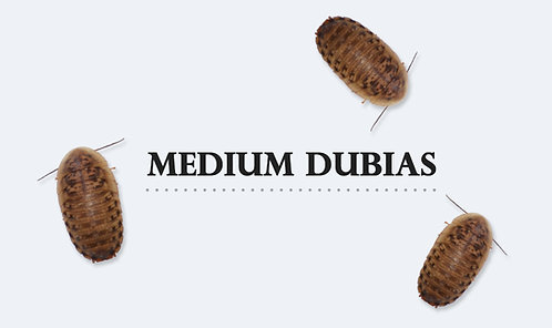 B.dubia Medium 1-2cm 24 gram (ca 100-120 st)