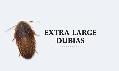 B.dubia X-Large  90gram  3-4cm (100-120st)