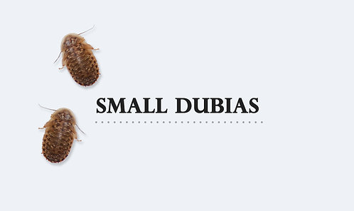 B.dubia Small 0,5-1 cm 9 gram (ca 100-120st)