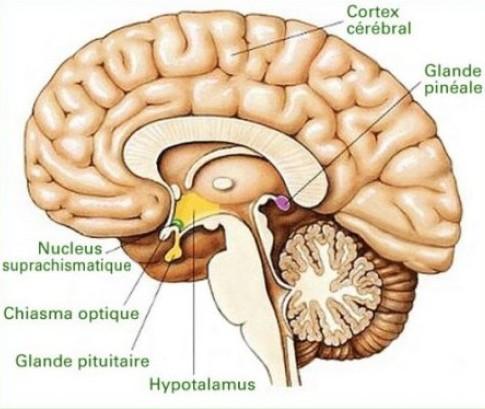 glande pinéale épiphyse kinésiologie