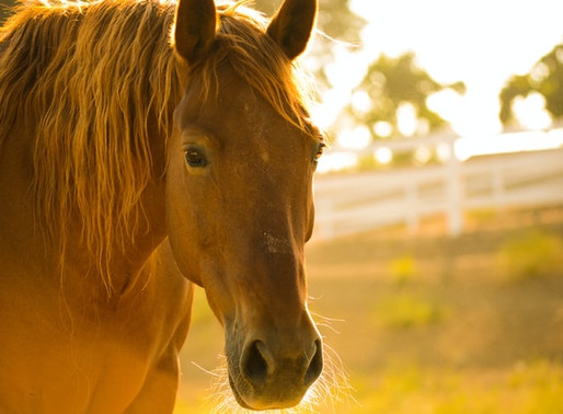 Les chevaux et la kinésiologie: la fourbure de Chaussette le bien nommé!