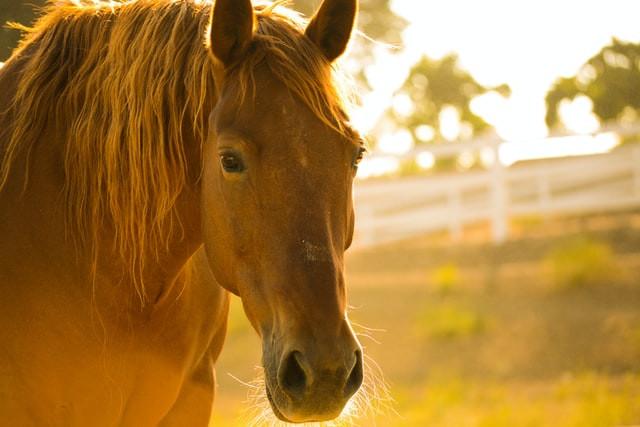 kinésiologie animale et kinésio-équine