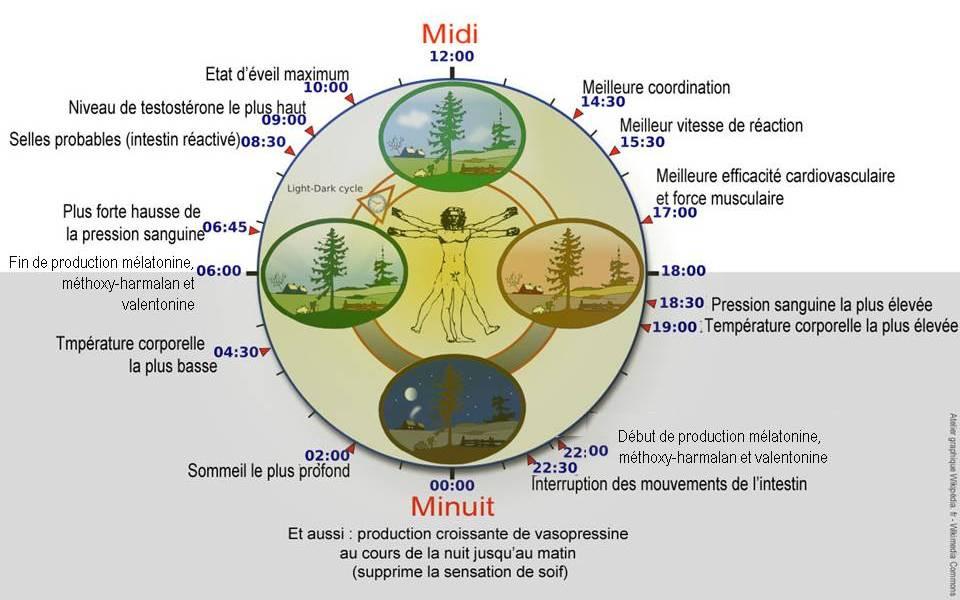 cycles circadiens sommeil-veille glande pinéale kinésiologie