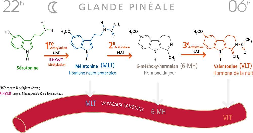 Mélatonine Valentonine Sérotonine Glande Pinéale