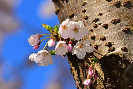 apple-blossom-5102114_1920 (2).jpg