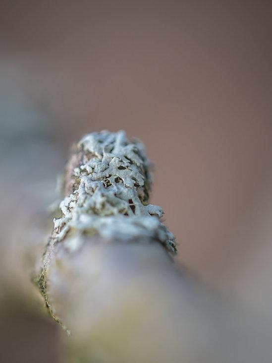 Korstmos (6) - Arnhemsmeiske verwondert ...