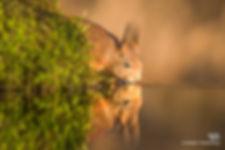Eekhoorn met reflectie tijdens gouden uurtje - Nelleke Wallenburg