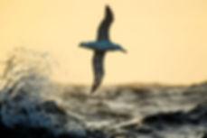 Grote albatros - Otto Plantema