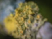 Korstmos (7) - Arnhemsmeiske verwondert ...