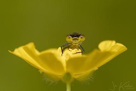 Libelle - Jan Koetze