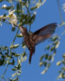 Kolibrie op Curaçao - Lucienne Booman