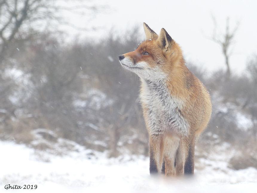 Sneeuwvos - Ghita Pluijmaekers - Gastblog Boeksz