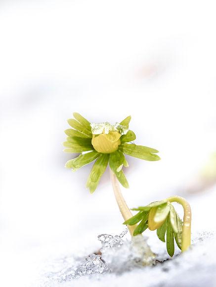 Winteraconiet - Arnhemsmeiske verwondert ...