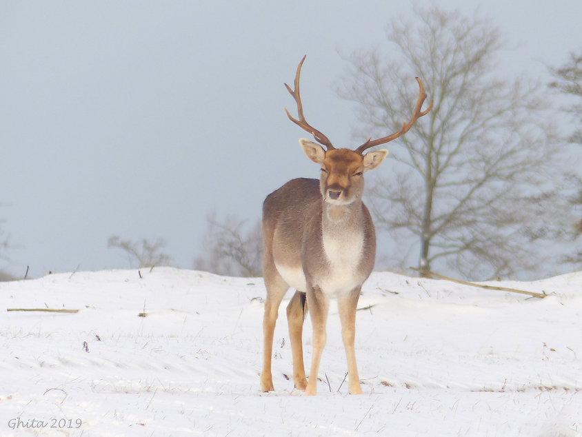 Damhert in de Sneeuw - Ghita Pluijmaekers - Gastblog Boeksz