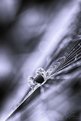 Kruisspin gefotografeerd met remote flitser - Jan Koetze